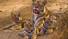 Tigress with young cubs in ranthambore