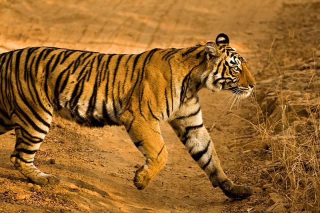 Tigress shifted to Sariska