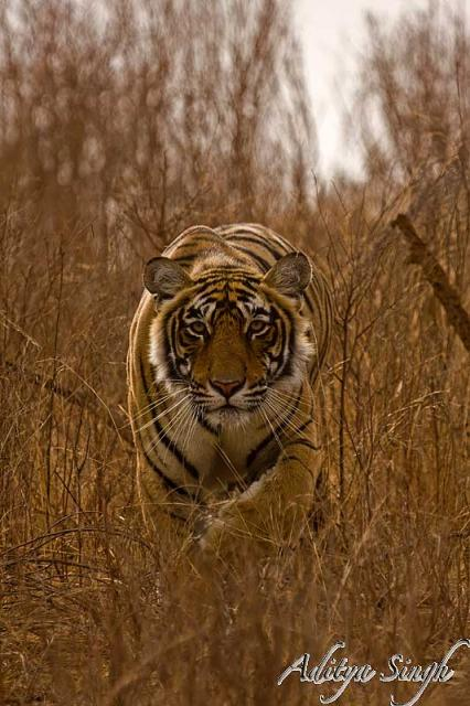 Tiger stalking in Ranthambhore