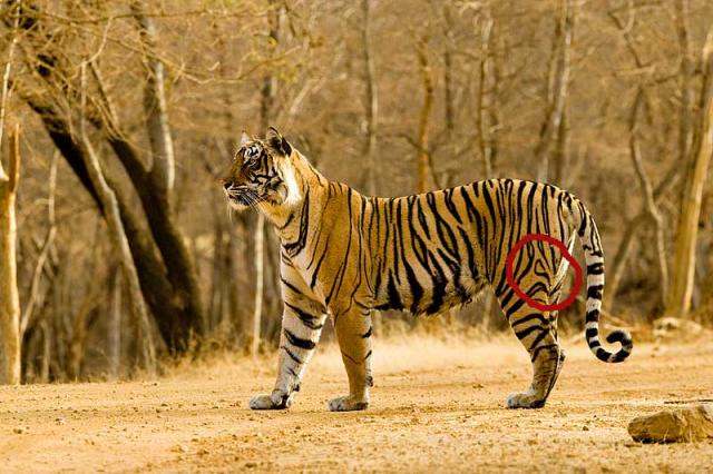 Bachhi - the first tigress to be shfted to Sariska from ranthambore