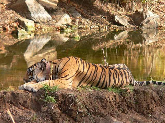 Dara male - the first tiger to be shifted from Ranthambore to sariska