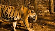 Guda tigress