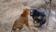 Bear-Tiger-Fight